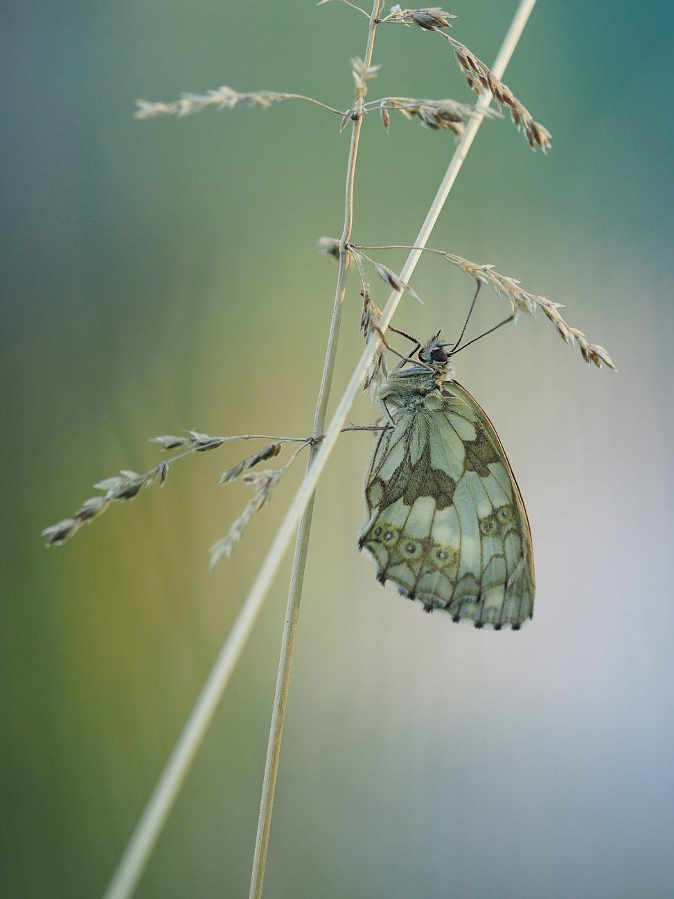 Abendruhe - Schlafende Schmetterlinge - Hondarium