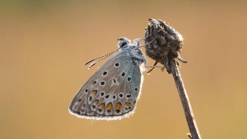 Rückenlage - Schlafende Schmetterlinge - Hondarium