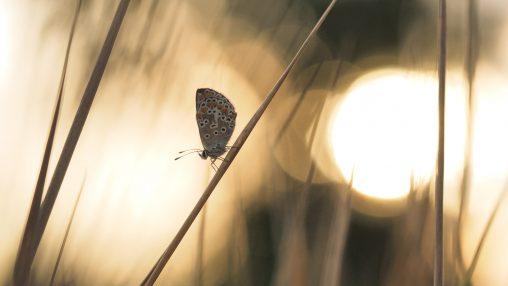 Morgenglut - Schlafende Schmetterlinge - Hondarium